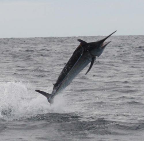 Trimed Marlin
